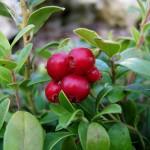 lignonberrywikimediacommons