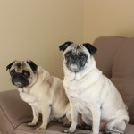 A Dog Biscuit Cookbook, a Rescue Pug and a Fundraiser