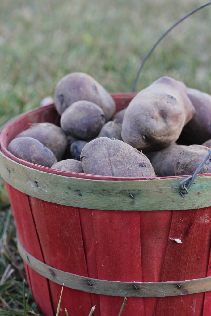 Adirondack Blue Potatoes Harvest