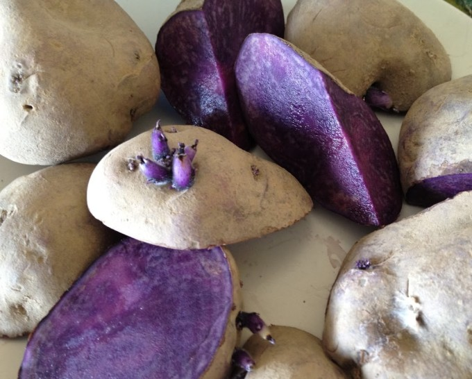 Adirondack Blue Potatoes before planting