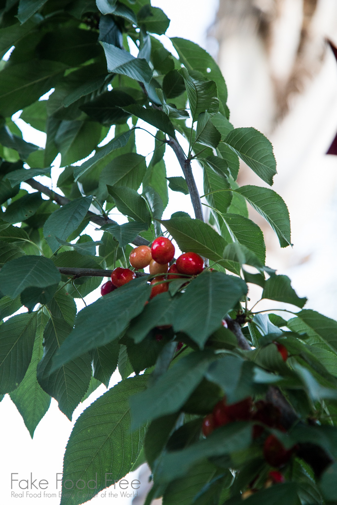 Our backyard cherry tree. Recipe for homemade cherry tarts at Fake Food Free!