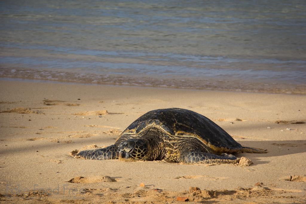 Sea Turtle Poipu Beach Kauai   Fake Food Free Travels