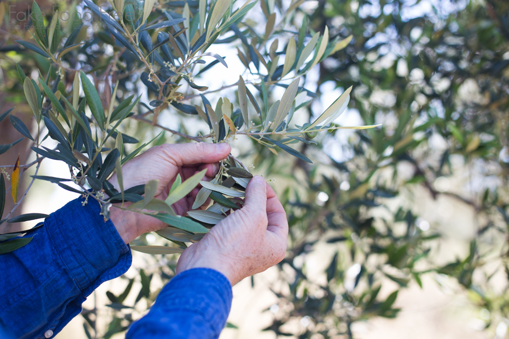 Learning about Olive Oil in the Lazio region Italy