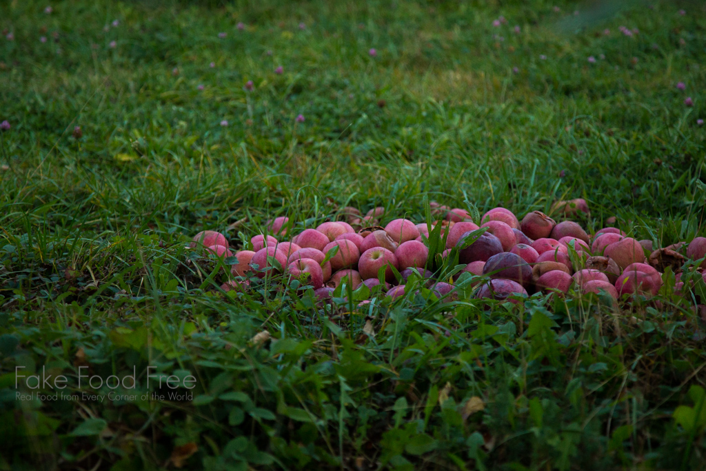 Apples in a New York orchard. Photo by Lori Rice. | FakeFoodFree.com